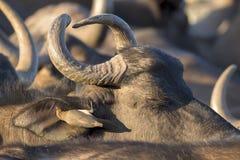 Cape Buffalo母牛lwith Oxpecker鸟 免版税库存照片