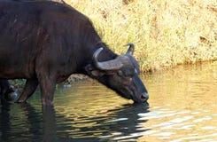Cape Buffalo,克留格尔国家公园,南非 免版税库存照片