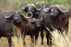 Cape Buffalo. Four Cape Buffalo staring in Africa Royalty Free Stock Photography
