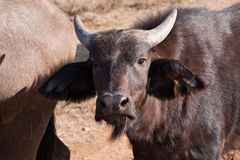 Cape buffalo Stock Images