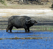 Cape Buffalo. A cape buffalo in the Chobe River on the border of Botswana and Namibia Royalty Free Stock Photos
