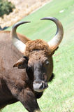 Cape Buffalo. Savanna buffalo (syncerus caffer caffer) against a grassy plain in the sunlight Stock Photo
