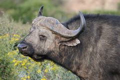 Cape Buffalo Stock Image