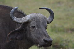 Cape Buffalo 3 图库摄影