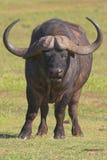 Cape Buffalo. Portrait view Royalty Free Stock Photos