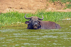 Cape Buffalo in an African River Stock Photo