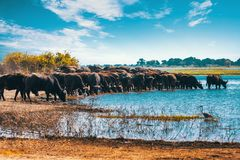 Cape Buffalo At Chobe River, Botswana Safari Wildlife Stock Images