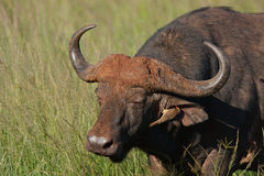 Cape Buffalo Stock Photos