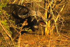 Cape Buffalo Bull Stock Photos
