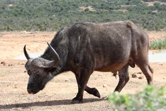 Cape Buffalo Bull Royalty Free Stock Image
