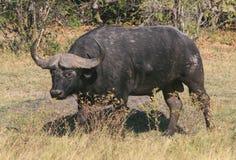 Cape buffalo bull. In Botswana, Africa Stock Photos