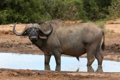 Cape Buffalo Bull Royalty Free Stock Images