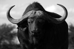 Cape Buffalo bull portrait Royalty Free Stock Image