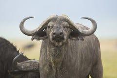 Cape Buffalo Bull (Syncerus caffer) in Tanzania. A male Cape Buffalo (Syncerus caffer) in the Ngorongoro Crater in Tanzania stock photography
