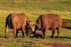 Cape Buffalo Bulls Fighting. (Syncerus caffer Stock Images