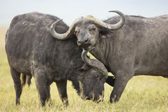 Cape Buffalo Bulls (Syncerus caffer) in Tanzania Royalty Free Stock Photography