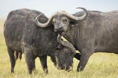 Cape Buffalo Bulls (Syncerus caffer) in Tanzania. Two male Cape Buffaloes (Syncerus caffer) in the Ngorongoro Crater in Tanzania Royalty Free Stock Photography