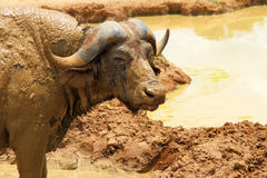 Cape Buffalo Camera Stare Stock Images