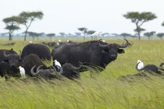Cape Buffalo and cattle egrets in grasslands of Tsavo National park, Kenya, Africa Stock Photos