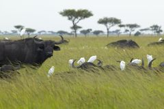 Cape Buffalo and cattle egrets in grasslands of Tsavo National park, Kenya, Africa Royalty Free Stock Image