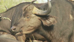 Cape buffalo chewing. Video of cape buffalo chewing stock footage