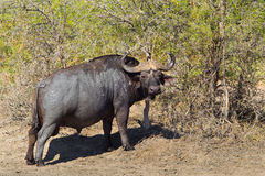 Cape Buffalo covered in mud Stock Photography