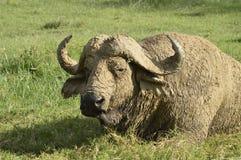 Cape buffalo Royalty Free Stock Images