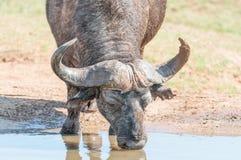 Cape Buffalo drinking Stock Photography