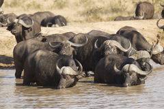 Cape Buffalo drinking, South Africa. A herd of Cape Buffalo (Syncerus caffer) drinking in deep water, Kruger Park, South Africa royalty free stock photography