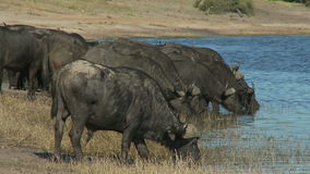 Cape buffalo drinking water stock footage