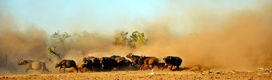Cape Buffalo and Dust. This photo depicts a herd of Cape buffalo running away from a perceived lion threat at a waterhole on a conservancy in Zimbabwe. It was Stock Images