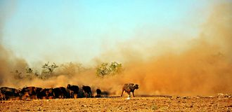 Cape Buffalo & Dust, Zimbabwe Royalty Free Stock Photos