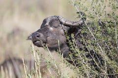 Cape buffalo eating grass Stock Photos