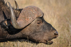 Cape buffalo eating. Royalty Free Stock Image
