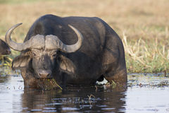 Cape buffalo eating plants in river Stock Images