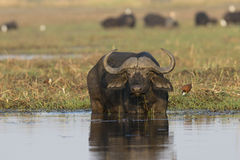 Cape buffalo eating in the river Royalty Free Stock Images
