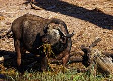 Cape Buffalo in Chobe National Park stock images