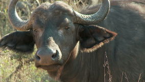 Cape buffalo eating stock video footage