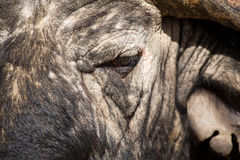 Cape Buffalo face close-up with small eye and texture Royalty Free Stock Photos