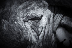 Cape Buffalo face close-up with small eye and texture Stock Image