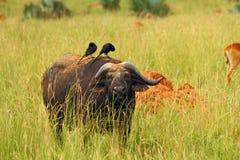 Cape Buffalo feeding on the plains. A Cape Buffalo feeds on the Ugandan plains while two birds groom him royalty free stock photography