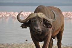 Cape Buffalo with Flamingos Royalty Free Stock Photos