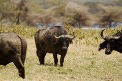 Cape Buffalo. On a grassy plain in Kenya Stock Photos