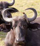 Cape buffalo is groomed by a Yellow Billed Oxpecker Stock Photo