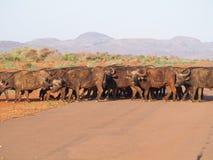 Cape buffalo Stock Image