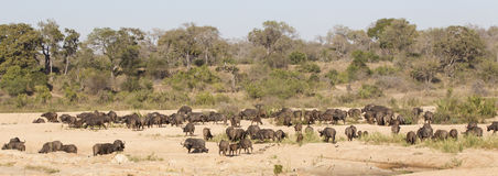 Cape buffalo herd in panoramic shot Stock Image