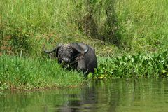 Cape Buffalo hiding in river shore grasses. A Cape Buffalo is feeding along the shoreline of the nile river in Murchison Falls National Park, in Uganda royalty free stock image