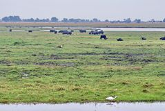 Cape buffalo and hippos grazing royalty free stock photos