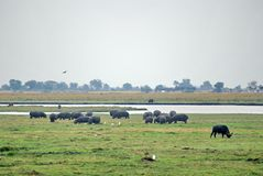 Cape buffalo and hippos grazing stock photography