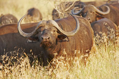 Cape Buffalo In Late Afternoon Sunlight Royalty Free Stock Photos